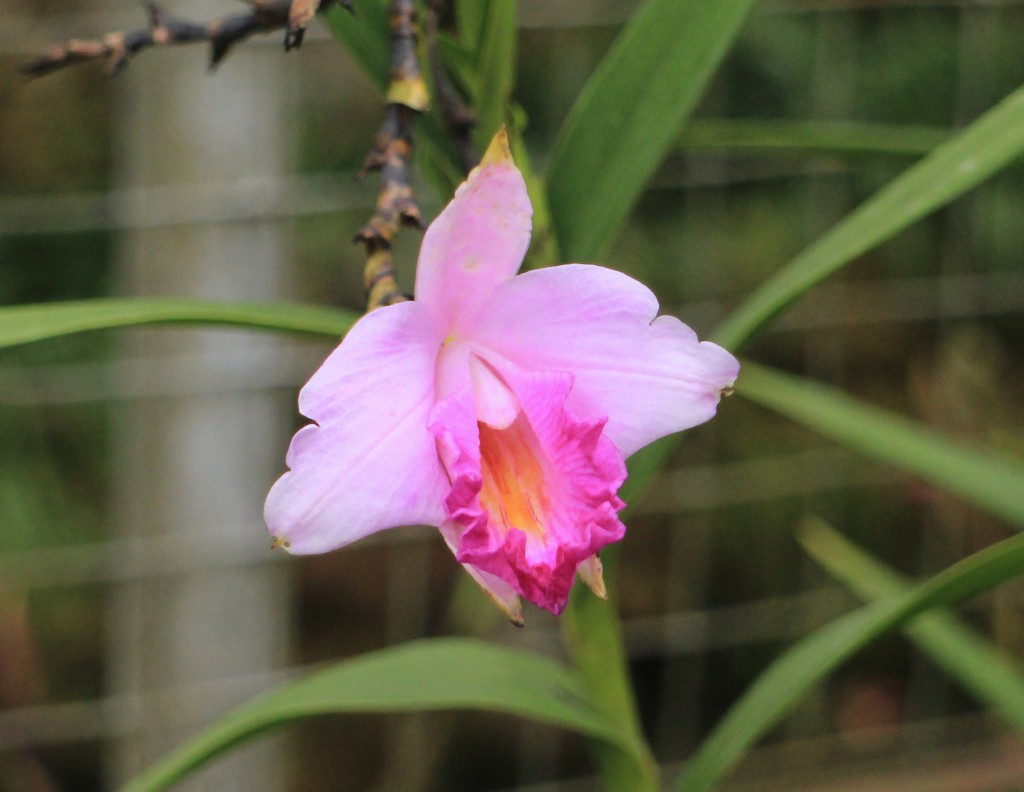Pink orchid at Bedugul 2015-06-05 00.24.25